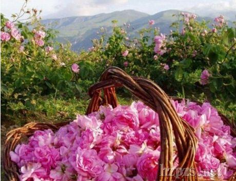 保加利亚玫瑰精油为液体黄金美容I养身
